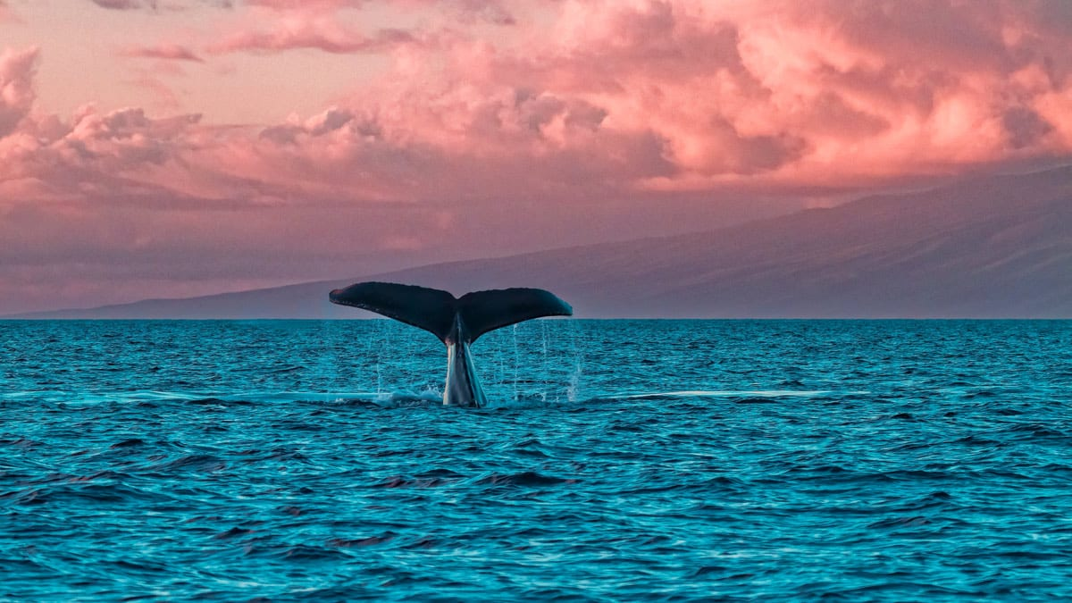 Maui Whale Watch