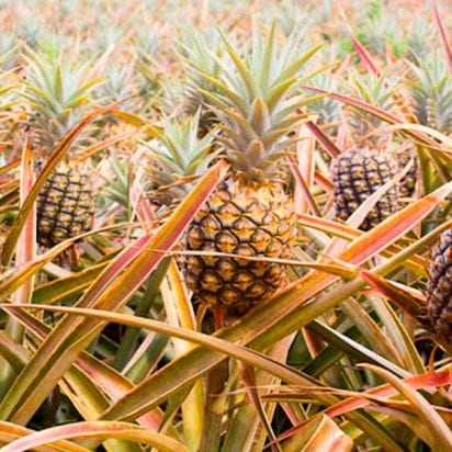 Maui Pineapple Tours, The Farm Tour 1835