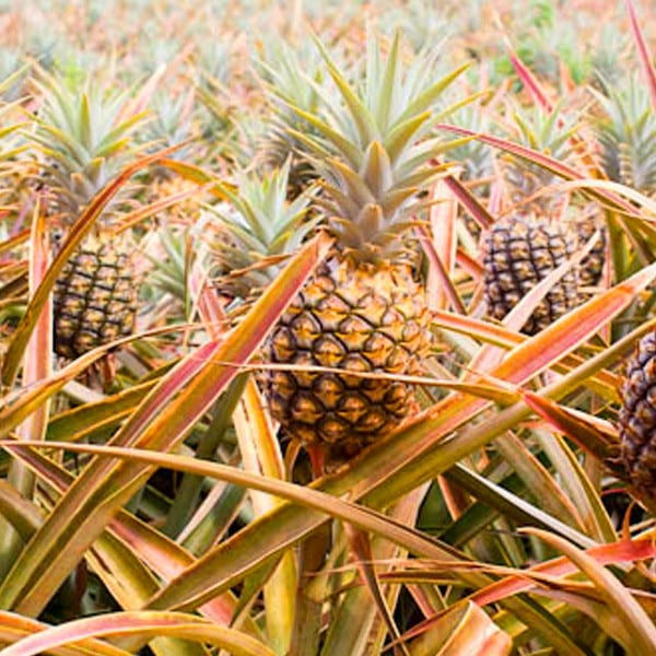 Maui Pineapple Farm Tour