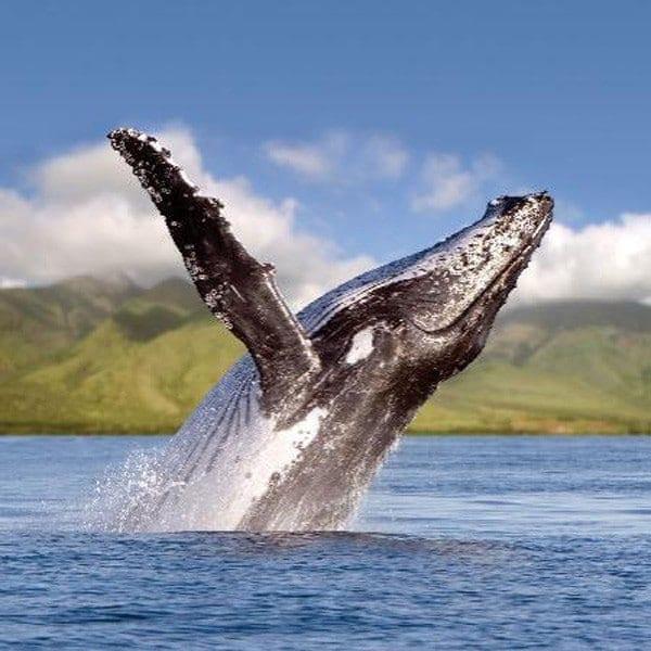 Lahaina Cruise Company – Kaulana Whale Watch