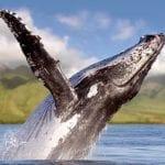 Scotch Mist, Maui Whale Watching-819
