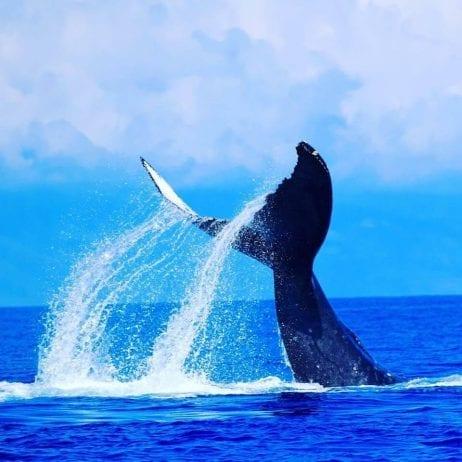 Maui whale watch Hawaii 260