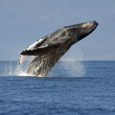 Alii Nui - Luxury Whale Watching (WW)