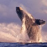 Alii Nui - Luxury Whale Watching (Whales)