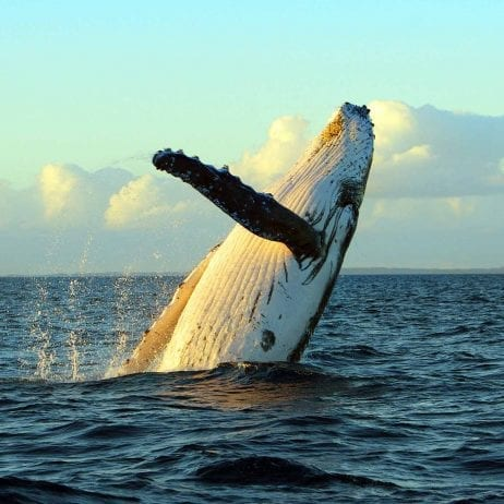 Alii Nui - Luxury Whale Watching (Beautiful Whale)