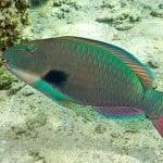 Aloha Blue Charters - Hokua Molokini Snorkel (Parrot Fish)