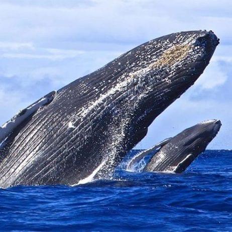 Blue Water Rafting - 4 Hour Kanaio Coast Snorkel (Whales)