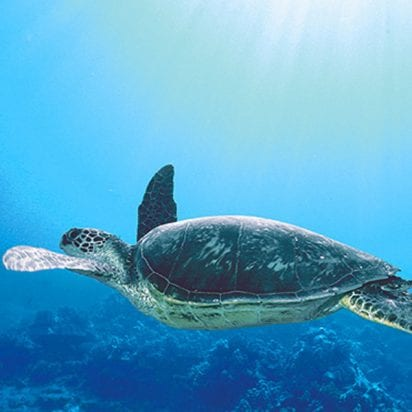 Frogman Charters - Afternoon Coral Gardens Snorkel (Turtle)