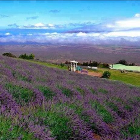 Haleakala Bike Company - Sunrise, Mid-Day, or Express Bike Tour (Lavender Farm)