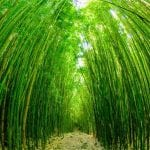 Hawaii Tours - The Road to Hana (Bamboo)