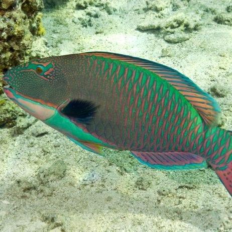 Lani Kai - Molokini Snorkeling (Parrot Fish)
