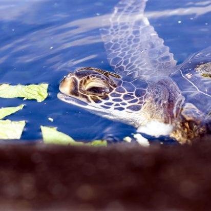 Maui Ocean Center Aquarium (Turtle)