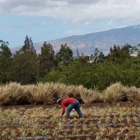 Maui Pineapple Farm Tour (Pineapple Planting)