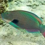 Ocean Riders - Circumnavigate Lanai (Parrot Fish)