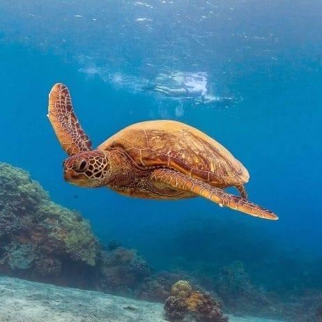 Pacific Whale Foundation - Lanai Dolphin Snorkel (Sea Turtle)