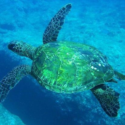 Quicksilver - Lanai Dolphin Snorkel (Turtle)