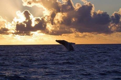 Hawaii sunset whale watch 267