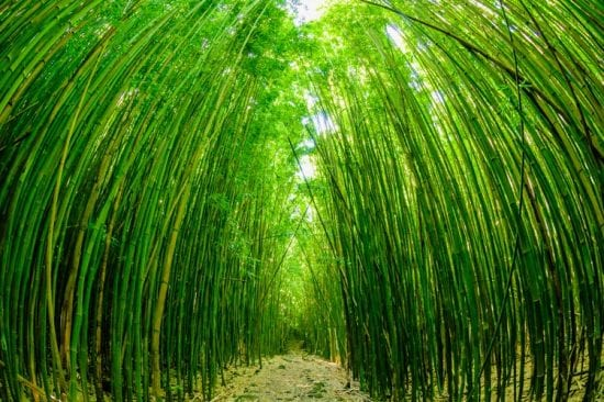 Bamboo Forrest - 2776