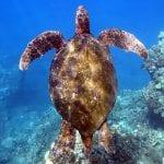 Swim with the turtles - 2447