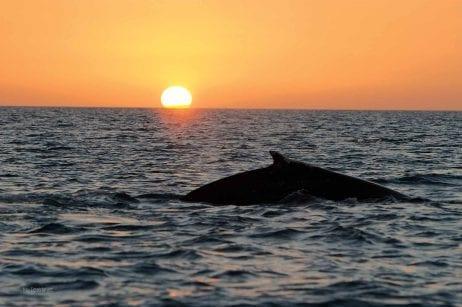Maui sunset whale watch 266