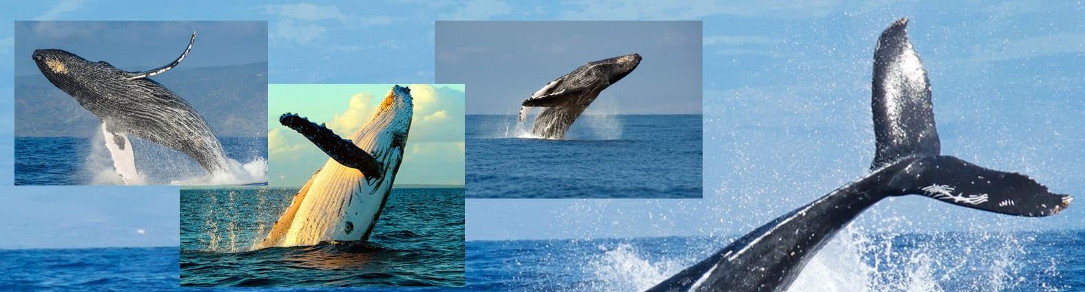 Whale watch Maui 250
