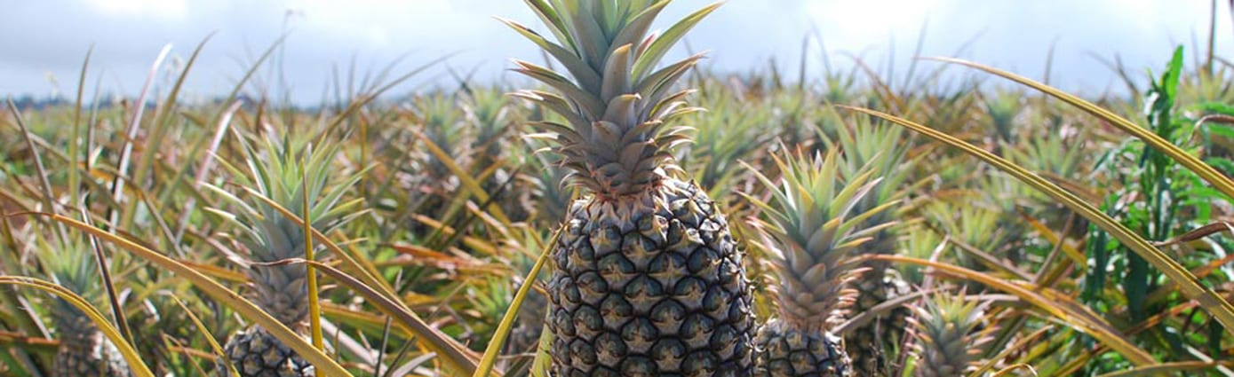 Pineapple Tour Maui Discount - 2579