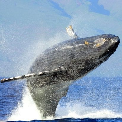 Kaanapali-Ocean-Adventures - Private-Charters (Whale Breach)