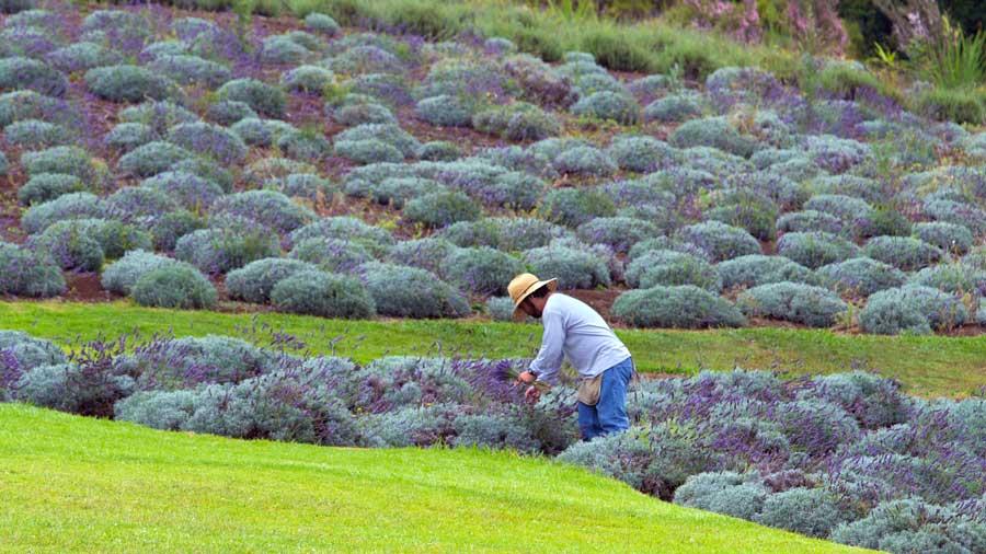 Maui Lavender Farm Tours