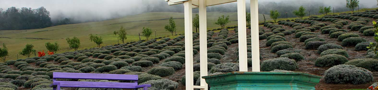 How To Enjoy The Maui Lavender Farm